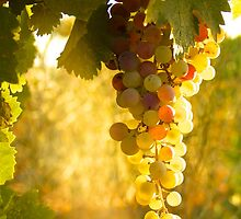 White Zinfandel Grape Harvest by John Hearne