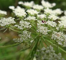 Beauty of the Queen Ann's Lace by vigor