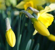 Daffodils unfurling by Deborah McGrath