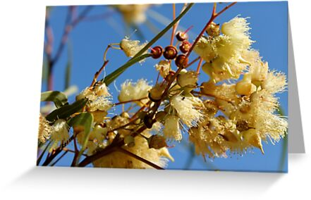 Gum Nut Blossoms  by Margaret Stanton