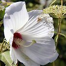 Hibiscus in its Glory by Polly Peacock