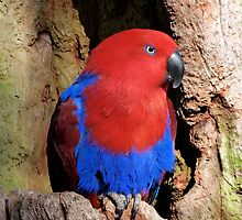 Female Eclectus Parrot Resting by Margaret Saheed