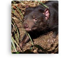 Tasmanian Devil Canvas Print