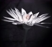 Lily and glow by DerekEntwistle