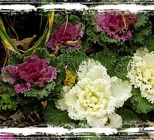 Ornamental Cabbage ~ Flowering Kale by SummerJade