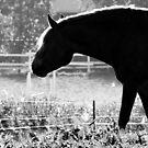 11.9.2014: Finnhorse on Pasture by Petri Volanen