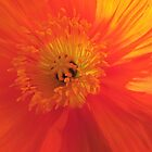 Orange Poppy Sunburst by Marilyn Harris
