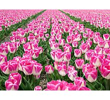 Dutch Tulips part 3 Photographic Print
