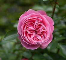 Pink Rose Perfection II by Circe Lucas