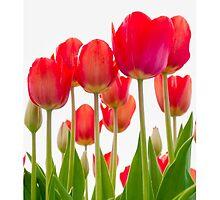 Tulips  by AlexFHiemstra