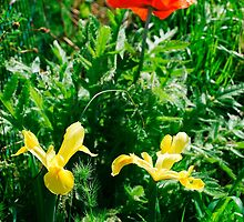 Giant Red Poppy and Irises by jojobob