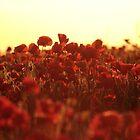 Poppy Sunset by Murray Breingan