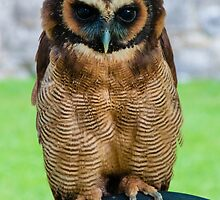 brown wood Owl by Stanciuc