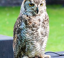 Close up portrait of European Eagle Owl by Stanciuc