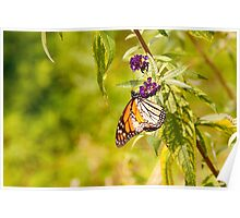 Brilliantly Colored Monarch Butterfly Poster