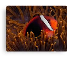 Tomato Anemonefish Canvas Print
