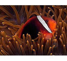 Tomato Anemonefish Photographic Print
