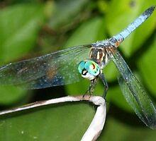 Blue dragonfly with aqua eyes by ♥⊱ B. Randi Bailey