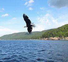 Bald Eagle  by caybeach