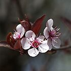 Trio of pink Blossom by Joy Watson