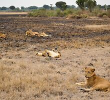 lions in the African bush by spetenfia