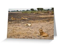 lions in the African bush Greeting Card