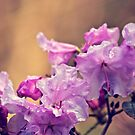 Raindrops on a Pink Rhododendron by Vicki Field