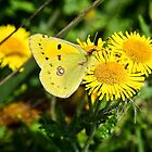 Clouded Yellow Butterfly ~ Colias Croceus by Susie Peek