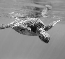 Black and White Turtle by loveandwater