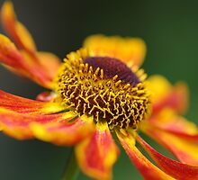 Zingy Helenium Waltraut flower by LindaCooke