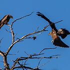Black Kites by Ian Creek