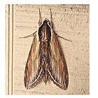 Laurel Sphinx Moth - Sphinx kalmiae by MotherNature2
