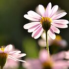 Erigeron by Julie Sherlock