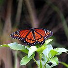 FLORIDA VICEORY BUTTERFLY by TomBaumker