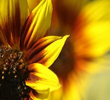 Colors of The Sunflower by mrsroadrunner