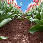 Tulip Farming by Melissa Dickson