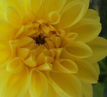 Yellow Dahlia by schwaes