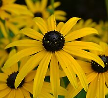 The Black Eyed Susan by zoe14