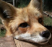 Rusty the Red Fox by veggiefox