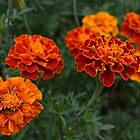 Marigolds by Scott Mitchell