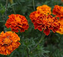 Marigolds by Scott Mitchell
