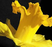 Daffodil Dancer by Marilyn Harris