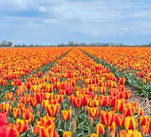 Dutch Tulips part 8 by AlexFHiemstra