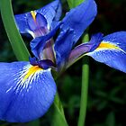 Blue flag beauty by ?? B. Randi Bailey
