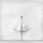 Ghostly White Swan by Lynn Bolt