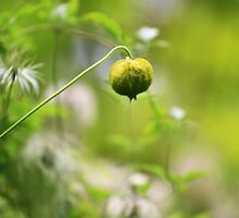 Seed Pod - Jupiter 9 Lens on EOS 7D by rennaisance