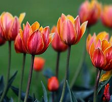 Bright colorful tulips by softdelusion