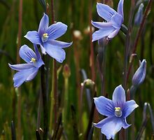 Veined Sun Orchid - Thelymitra cyanea  by Paul Piko