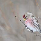 Common Redpoll by Jeannine St-Amour