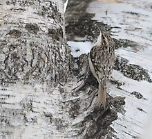 Little Brown Creeper by Jeannine St-Amour